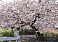 今年も桜が綺麗に咲きました!